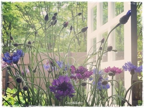 矢車菊と5月のそよ風